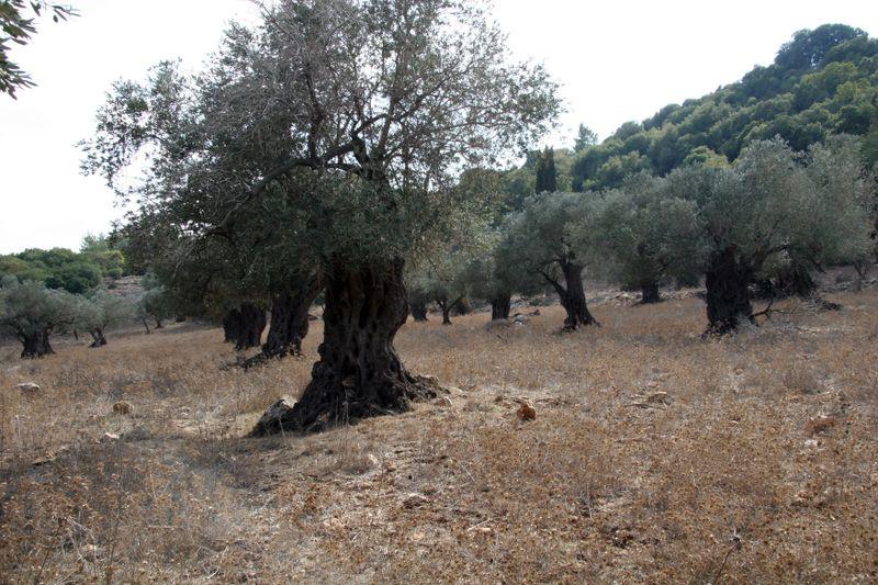 Mt carmel olive grove